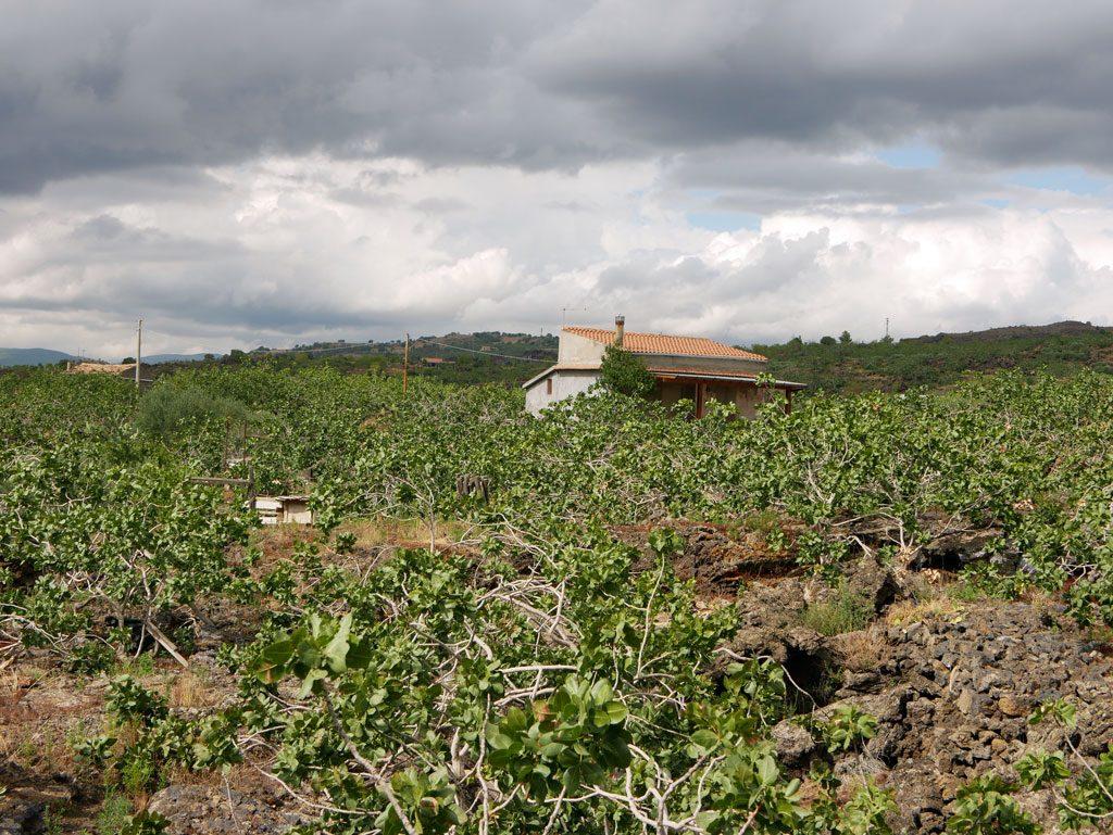Pistachio trees in Bronte